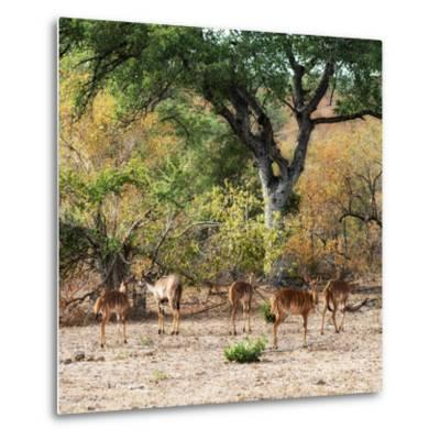 Awesome South Africa Collection Square - Herd of Impalas-Philippe Hugonnard-Metal Print