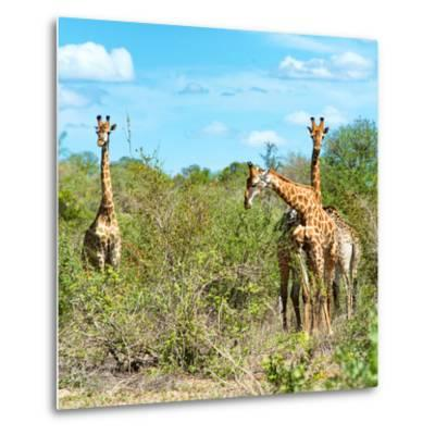 Awesome South Africa Collection Square - Herd of Giraffes-Philippe Hugonnard-Metal Print