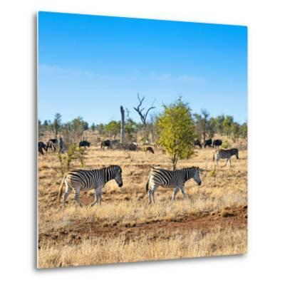 Awesome South Africa Collection Square - Herd of Zebra-Philippe Hugonnard-Metal Print