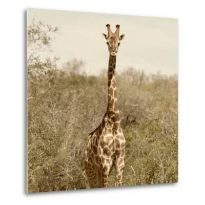 Awesome South Africa Collection Square - Giraffe Portrait-Philippe Hugonnard-Metal Print