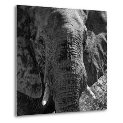 Awesome South Africa Collection Square - Close-Up of African Elephant B&W-Philippe Hugonnard-Metal Print