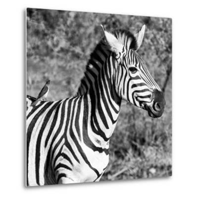 Awesome South Africa Collection Square - Close-Up of Burchell's Zebra with Oxpecker B&W-Philippe Hugonnard-Metal Print