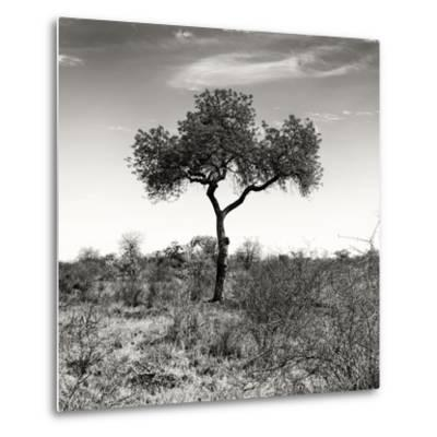 Awesome South Africa Collection Square - One Acacia Tree B&W-Philippe Hugonnard-Metal Print