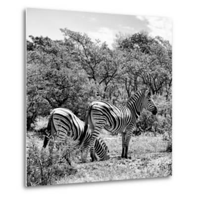 Awesome South Africa Collection Square - Two Burchell's Zebras II B&W-Philippe Hugonnard-Metal Print