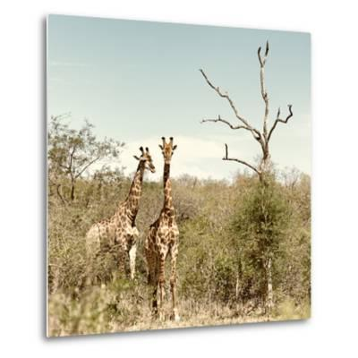 Awesome South Africa Collection Square - Giraffes in Savannah II-Philippe Hugonnard-Metal Print