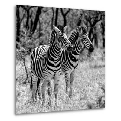 Awesome South Africa Collection Square - Two Burchell's Zebras B&W-Philippe Hugonnard-Metal Print