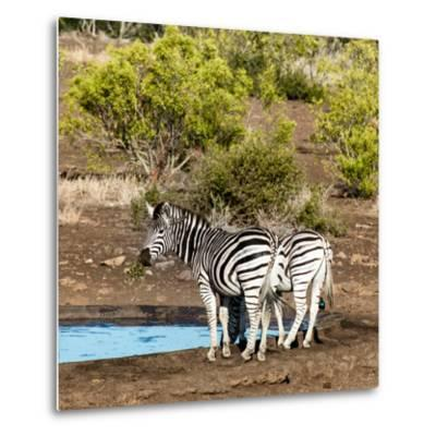 Awesome South Africa Collection Square - Two Burchell's Zebras III-Philippe Hugonnard-Metal Print
