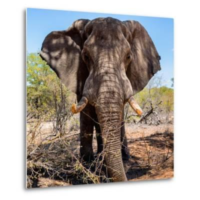 Awesome South Africa Collection Square - Portrait of African Elephant-Philippe Hugonnard-Metal Print
