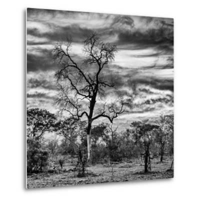Awesome South Africa Collection Square - Acacia Tree in Savannah II-Philippe Hugonnard-Metal Print
