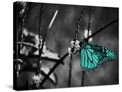 Lone Colored Butterfly II-Gail Peck-Stretched Canvas Print