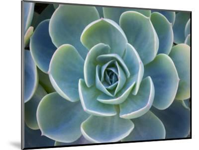 Close-Up of a Succulent Plant-Diane Miller-Mounted Photographic Print