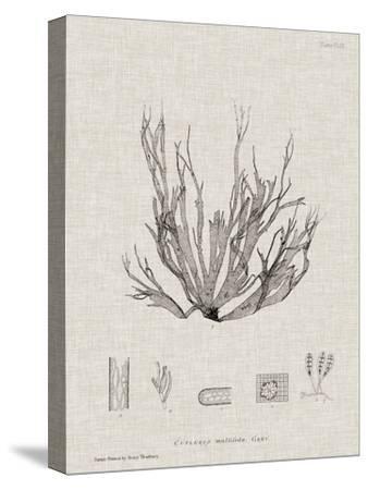 Charcoal & Linen Seaweed I-Henry Bradbury-Stretched Canvas Print