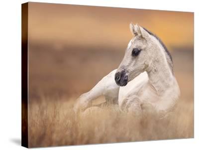 Foal in the Field II-Ozana Sturgeon-Stretched Canvas Print
