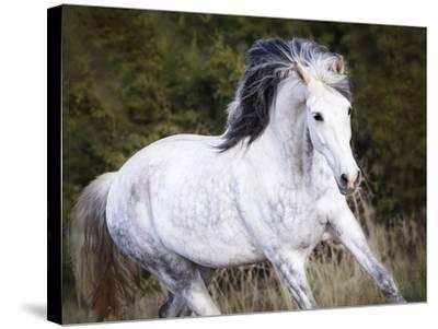 Horse in the Field V-Ozana Sturgeon-Stretched Canvas Print