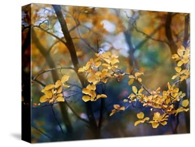 Autumn Leaves-Ursula Abresch-Stretched Canvas Print