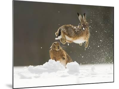 Brown Hare (Lepus Europaeus) Adult Female (Mid-Air) Leaping Out of Her Form in Snow-Andrew Parkinson-Mounted Photographic Print