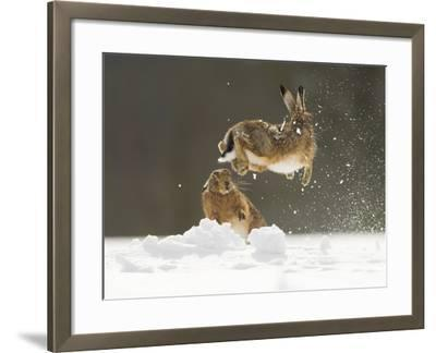 Brown Hare (Lepus Europaeus) Adult Female (Mid-Air) Leaping Out of Her Form in Snow-Andrew Parkinson-Framed Photographic Print