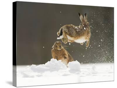 Brown Hare (Lepus Europaeus) Adult Female (Mid-Air) Leaping Out of Her Form in Snow-Andrew Parkinson-Stretched Canvas Print