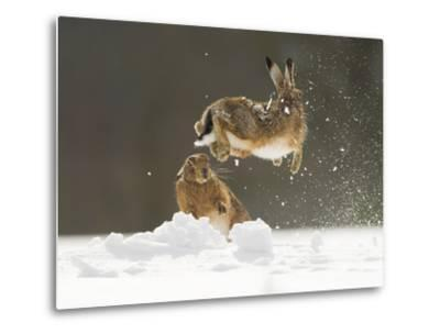 Brown Hare (Lepus Europaeus) Adult Female (Mid-Air) Leaping Out of Her Form in Snow-Andrew Parkinson-Metal Print