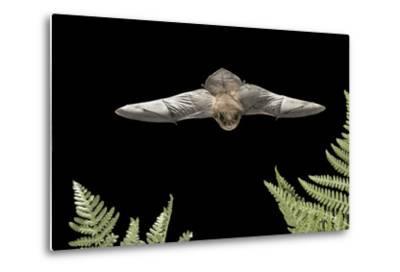 California Myotis (Myotis Californicus) in Flight, Rogue River National Forest, Oregon, USA, August-Michael Durham-Metal Print