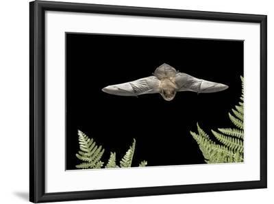 California Myotis (Myotis Californicus) in Flight, Rogue River National Forest, Oregon, USA, August-Michael Durham-Framed Photographic Print