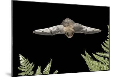 California Myotis (Myotis Californicus) in Flight, Rogue River National Forest, Oregon, USA, August-Michael Durham-Mounted Photographic Print