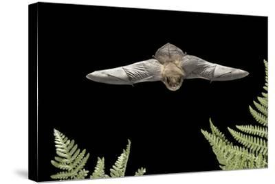 California Myotis (Myotis Californicus) in Flight, Rogue River National Forest, Oregon, USA, August-Michael Durham-Stretched Canvas Print