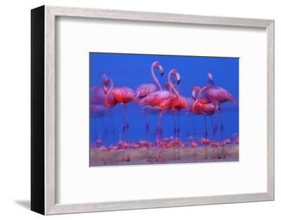 Caribbean Flamingo (Phoenicopterus Ruber) Preparing to Sleep-Claudio Contreras-Framed Photographic Print