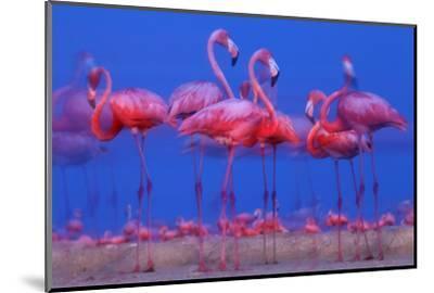 Caribbean Flamingo (Phoenicopterus Ruber) Preparing to Sleep-Claudio Contreras-Mounted Photographic Print