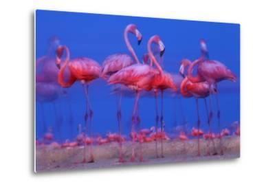 Caribbean Flamingo (Phoenicopterus Ruber) Preparing to Sleep-Claudio Contreras-Metal Print