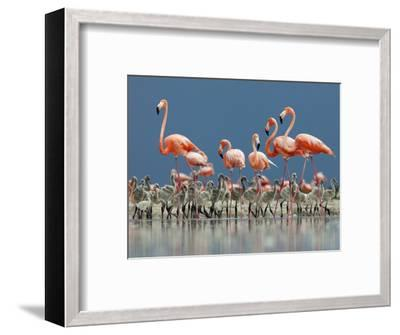 Caribbean Flamingo (Phoenicopterus Ruber) Adults Guarding Chick-Claudio Contreras-Framed Photographic Print