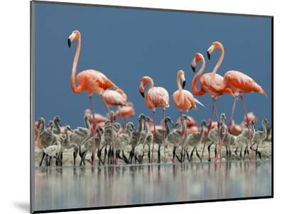 Caribbean Flamingo (Phoenicopterus Ruber) Adults Guarding Chick-Claudio Contreras-Mounted Photographic Print