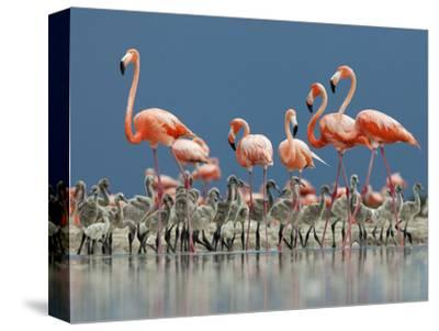 Caribbean Flamingo (Phoenicopterus Ruber) Adults Guarding Chick-Claudio Contreras-Stretched Canvas Print