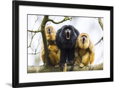 Black Howler Monkeys (Alouatta Caraya) Male and Two Females Calling from Tree-Juan Carlos Munoz-Framed Photographic Print