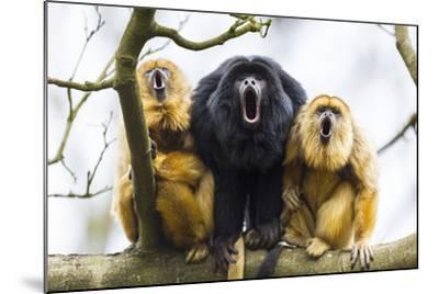 Black Howler Monkeys (Alouatta Caraya) Male and Two Females Calling from Tree-Juan Carlos Munoz-Mounted Photographic Print