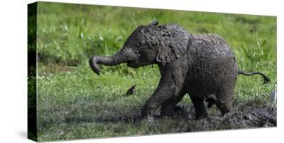 African Elephant (Loxodonta Africana) Calf Covered in Mud-Cheryl-Samantha Owen-Stretched Canvas Print