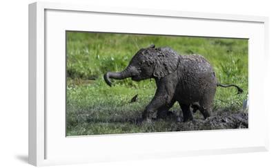 African Elephant (Loxodonta Africana) Calf Covered in Mud-Cheryl-Samantha Owen-Framed Photographic Print