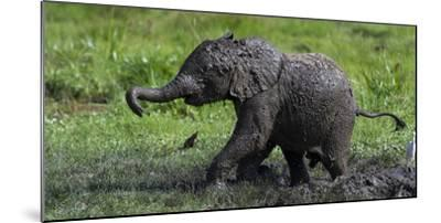 African Elephant (Loxodonta Africana) Calf Covered in Mud-Cheryl-Samantha Owen-Mounted Photographic Print
