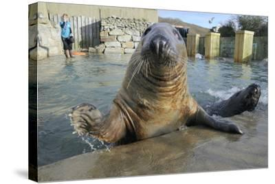Blind Adult Male Grey Seal (Halichoerus Grypus) 'Marlin' Waving a Flipper-Nick Upton-Stretched Canvas Print