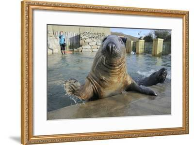 Blind Adult Male Grey Seal (Halichoerus Grypus) 'Marlin' Waving a Flipper-Nick Upton-Framed Photographic Print