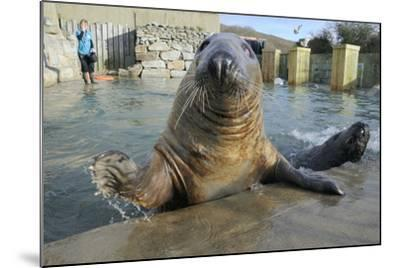 Blind Adult Male Grey Seal (Halichoerus Grypus) 'Marlin' Waving a Flipper-Nick Upton-Mounted Photographic Print