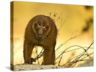 Arunachal Macaque (Macaca Munzala) Tawang, Arunachal Pradesh, India. Endangered Species-Sandesh Kadur-Stretched Canvas Print