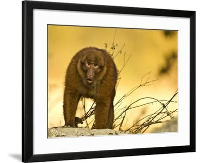 Arunachal Macaque (Macaca Munzala) Tawang, Arunachal Pradesh, India. Endangered Species-Sandesh Kadur-Framed Photographic Print