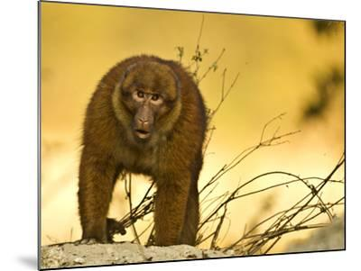 Arunachal Macaque (Macaca Munzala) Tawang, Arunachal Pradesh, India. Endangered Species-Sandesh Kadur-Mounted Photographic Print