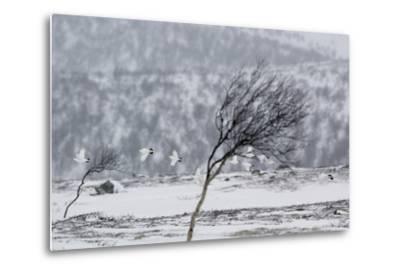 Willow Grouse (Lagopus Lagopus) Flock in Flight in Snow, Utsjoki, Finland, October-Markus Varesvuo-Metal Print