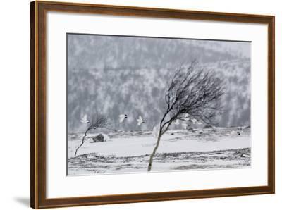 Willow Grouse (Lagopus Lagopus) Flock in Flight in Snow, Utsjoki, Finland, October-Markus Varesvuo-Framed Photographic Print