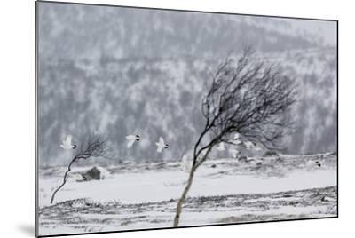 Willow Grouse (Lagopus Lagopus) Flock in Flight in Snow, Utsjoki, Finland, October-Markus Varesvuo-Mounted Photographic Print