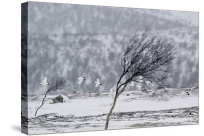 Willow Grouse (Lagopus Lagopus) Flock in Flight in Snow, Utsjoki, Finland, October-Markus Varesvuo-Stretched Canvas Print