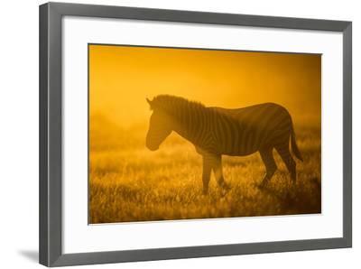 Plains Zebra (Equus Quagga) at Sunset, Savuti Marsh, Botswana-Wim van den Heever-Framed Photographic Print
