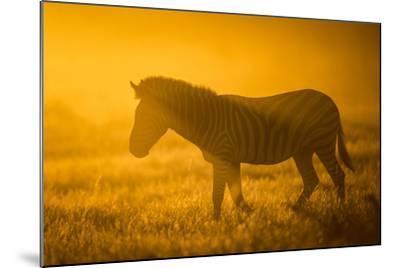Plains Zebra (Equus Quagga) at Sunset, Savuti Marsh, Botswana-Wim van den Heever-Mounted Photographic Print